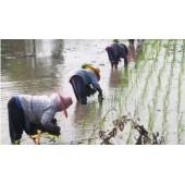 水田插秧机 水稻移植机