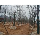 杉木支撑、绿化支撑、树木支撑、苗木支撑、绿化植树杆